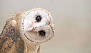 Barn Owl from Field Journal
